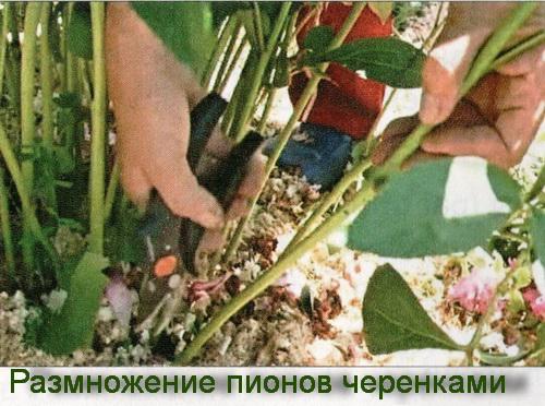 размножение пионов черенками
