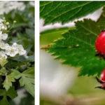Декоративное растение — боярышник в вашем саду