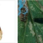 Вишневый слизистый пилильщик: как бороться с вредителем