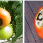 Вершинная гниль у томатов: как спасти помидоры