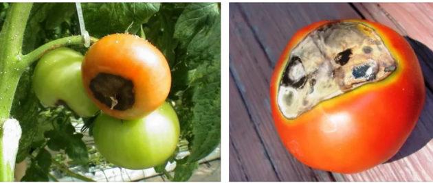 вершинная гниль у томатов как спасти помидоры