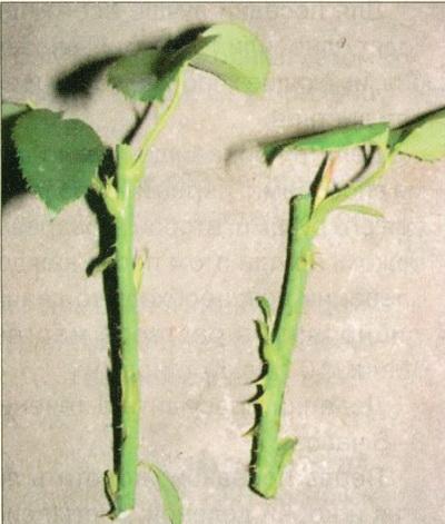 черенкование роз в летом