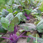 Как вырастить кольраби на огороде дважды за сезон