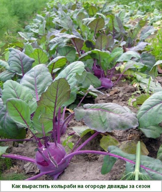 как вырастить кольраби на огороде